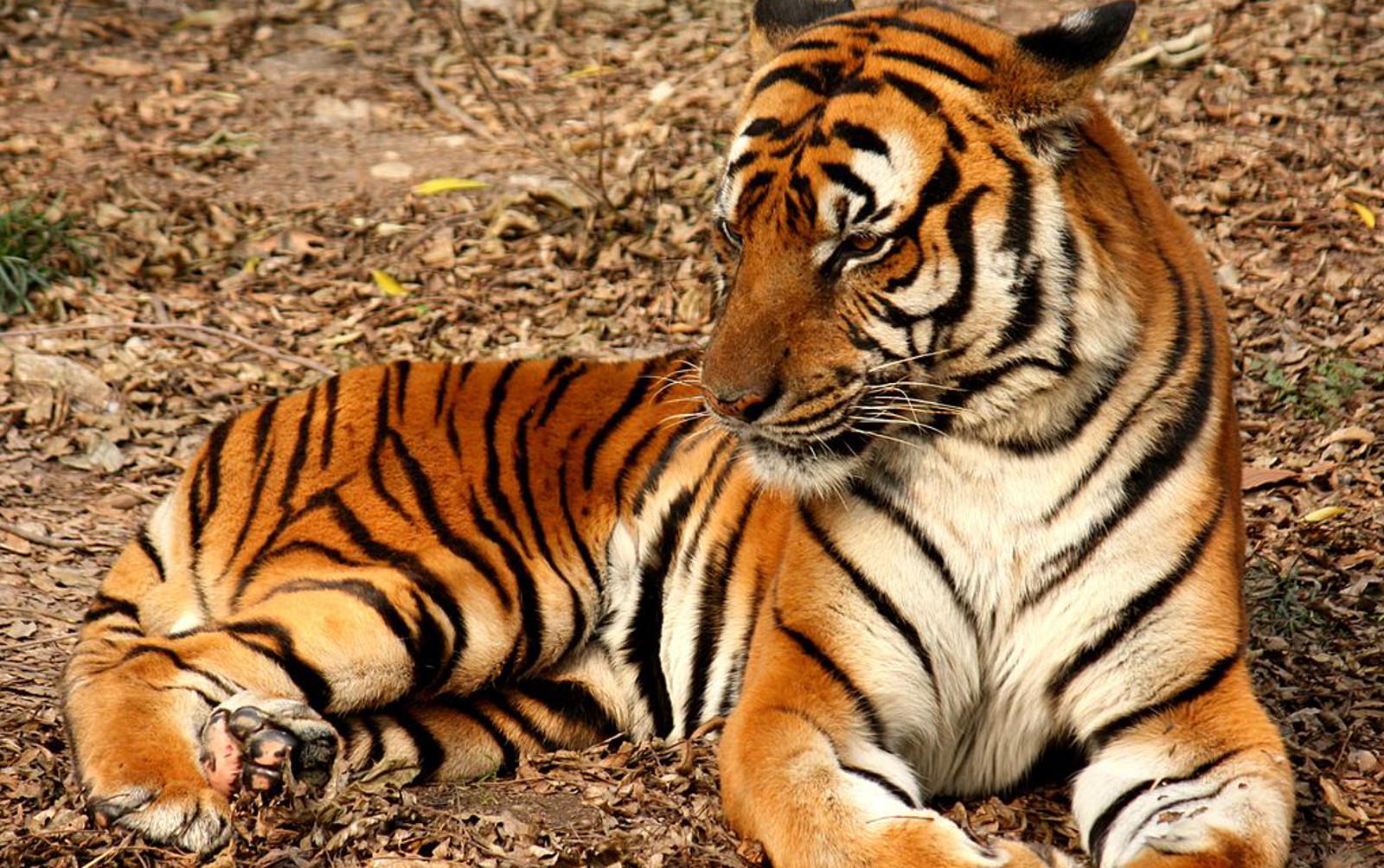 EXPOSED: Thailand's Tiger Kingdom, Sanctuary or Sham