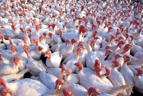 Another Reason to Leave Turkey Off the Menu This Thanksgiving: Genetically Modified Turkey