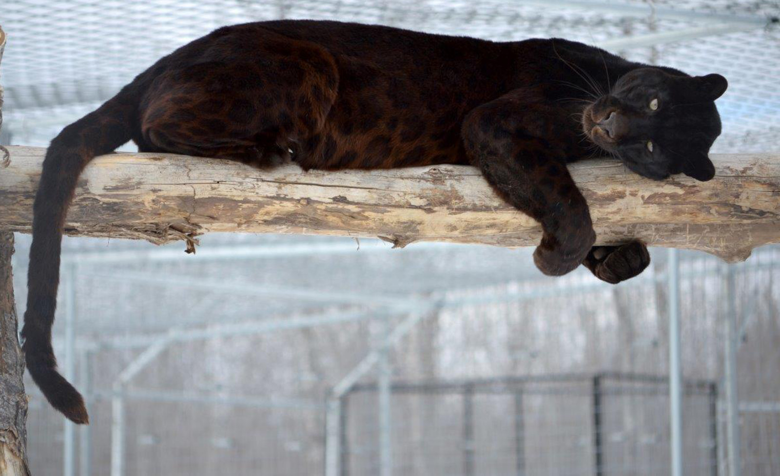 From Failed Zoo to Reigning King of the Perch, Shazam the Leopard Enjoys His Freedom at Wildcat Sanctuary