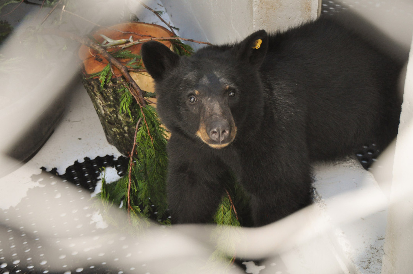 A Teenage American Black Bear Learns What is Means to be Wild