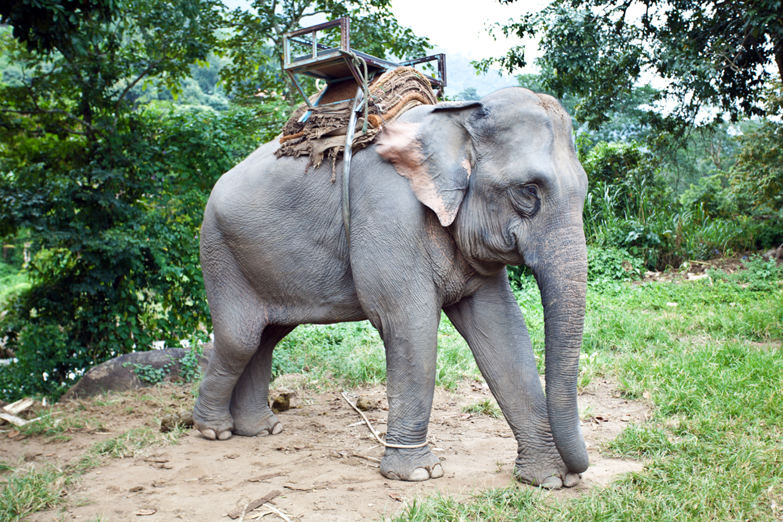 Elephant Trekking Endangers Both People and Animals: Why it Should Be Avoided at all Costs