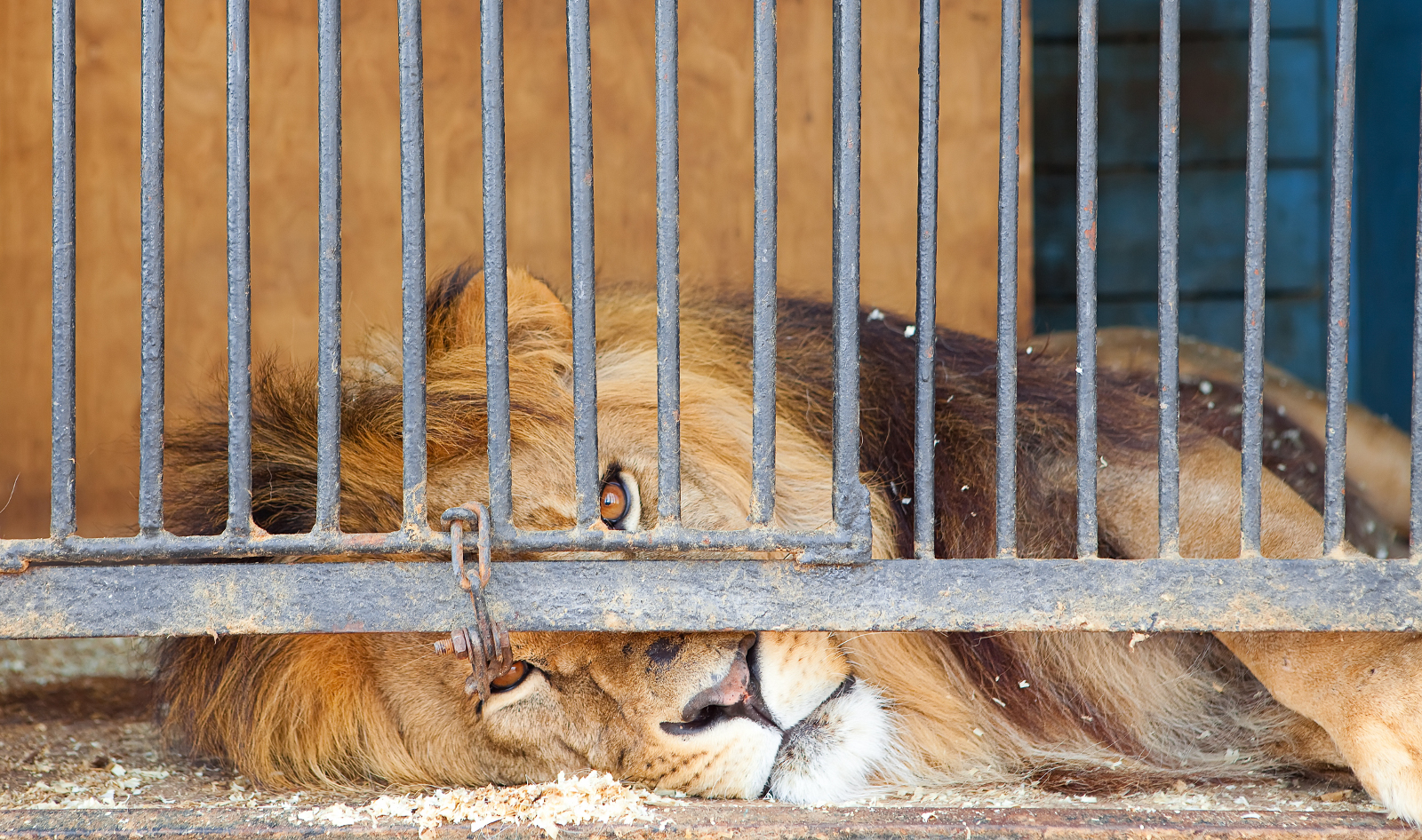 What is the Difference Between a Real Big Cat Sanctuary and an Abusive 'Scamtuary'?
