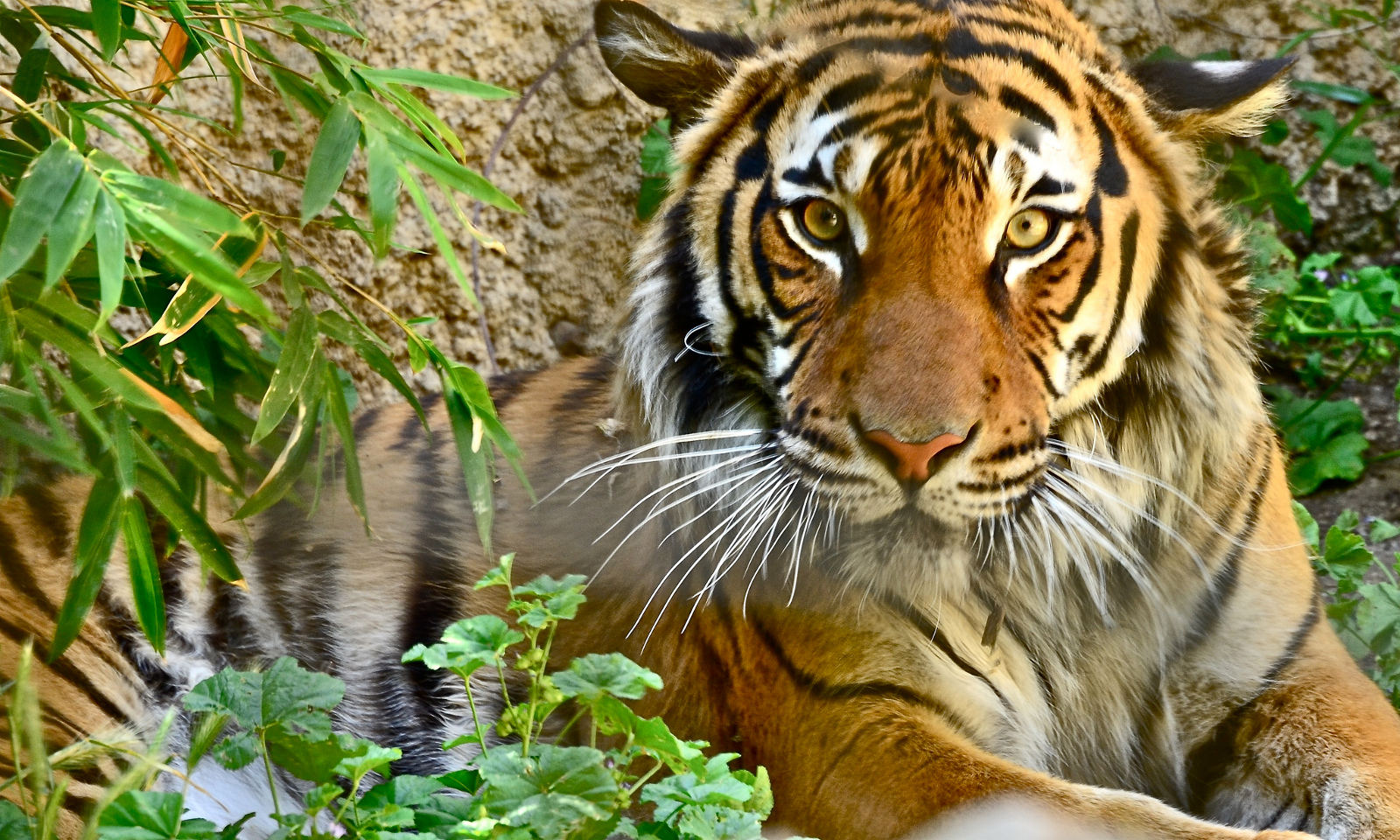 Why Humans Need to Change the Way We Interact With Tigers to Save Them From Extinction