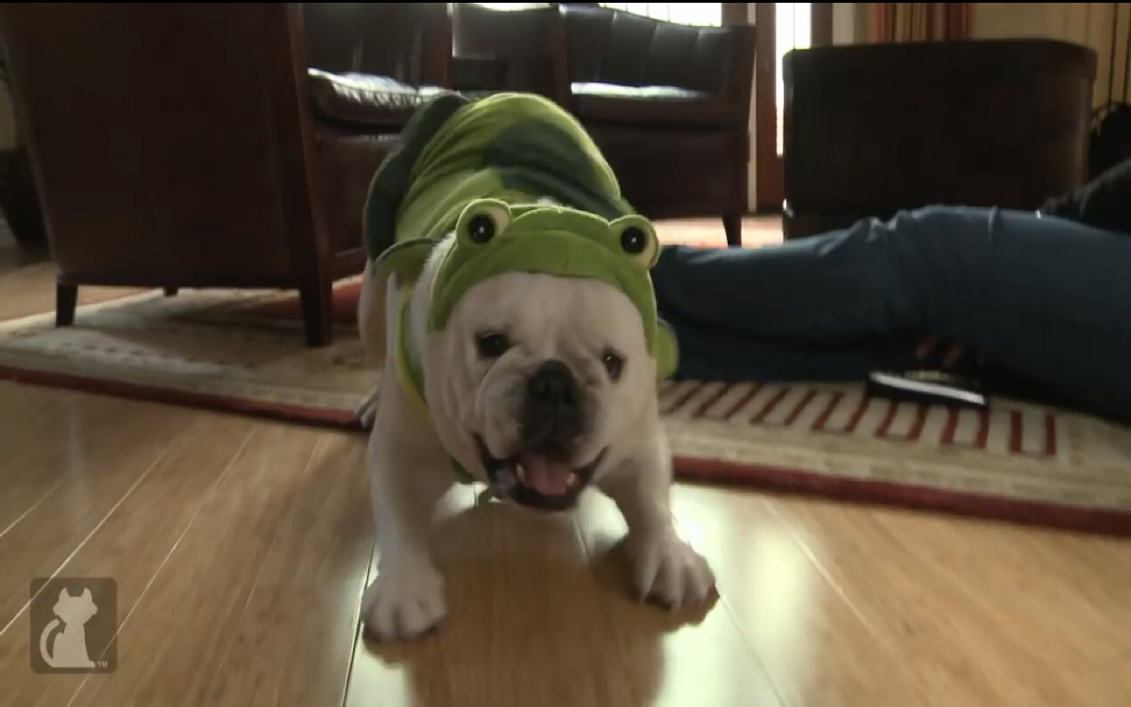 Rescued Bulldog Finds Comfort In A Turtle Costume Video One Green Planet