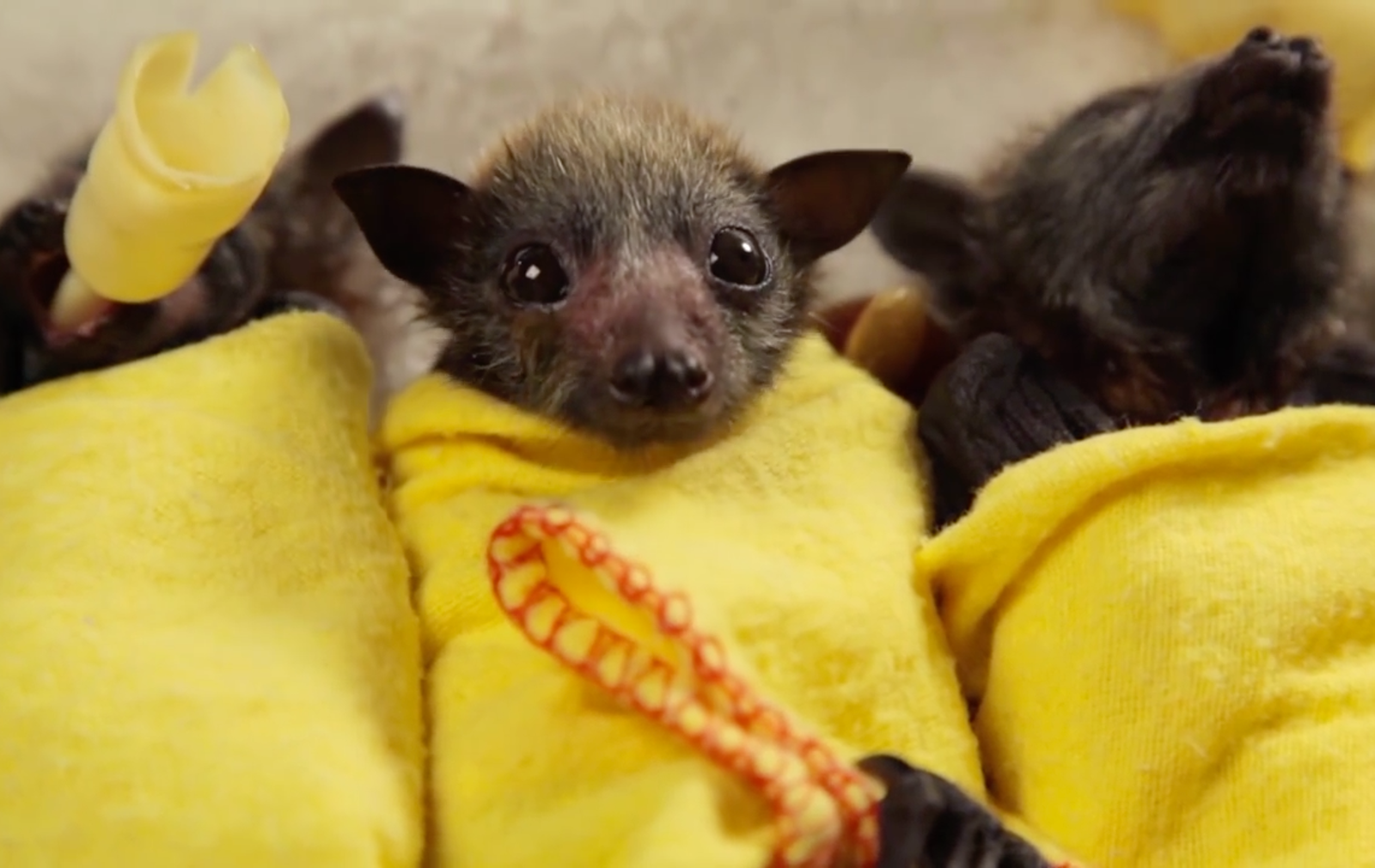 Rescued Baby Bats Wrapped in Blankets Are Possibly The Cutest Thing You'll See All Week