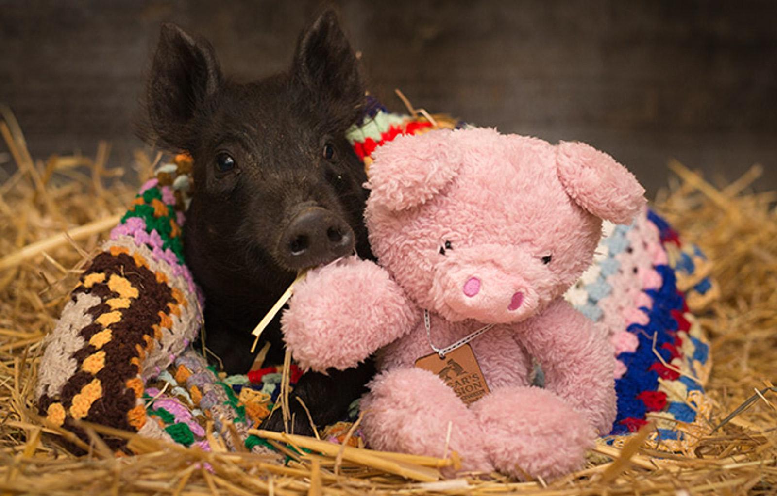 Winifred P Piglet