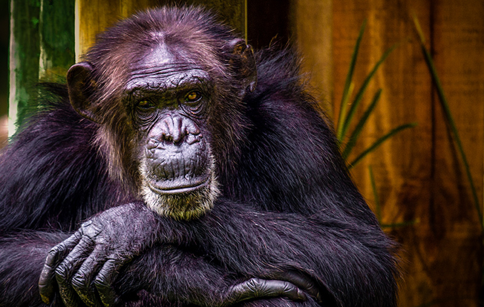 7 Reasons Chimps Are Just Like Humans and Deserve To Be Legally Considered Persons