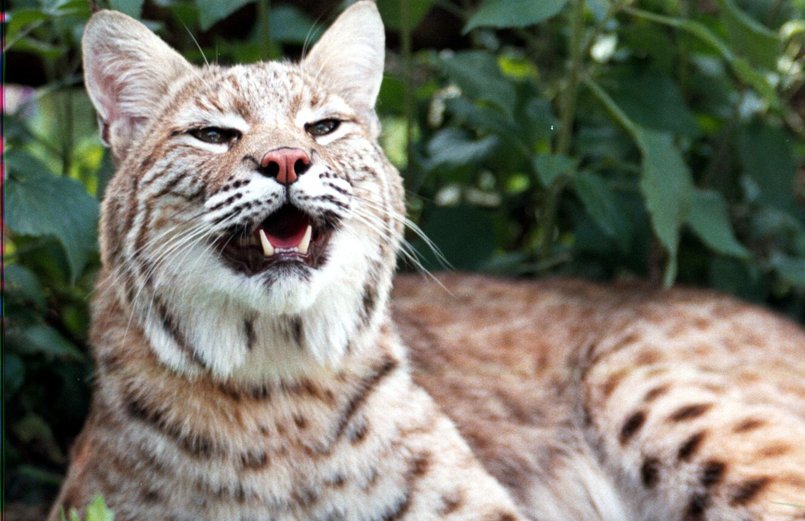 Big Cats Gone Wild! Our Top 10 Favorite Big Cat Rescue Videos