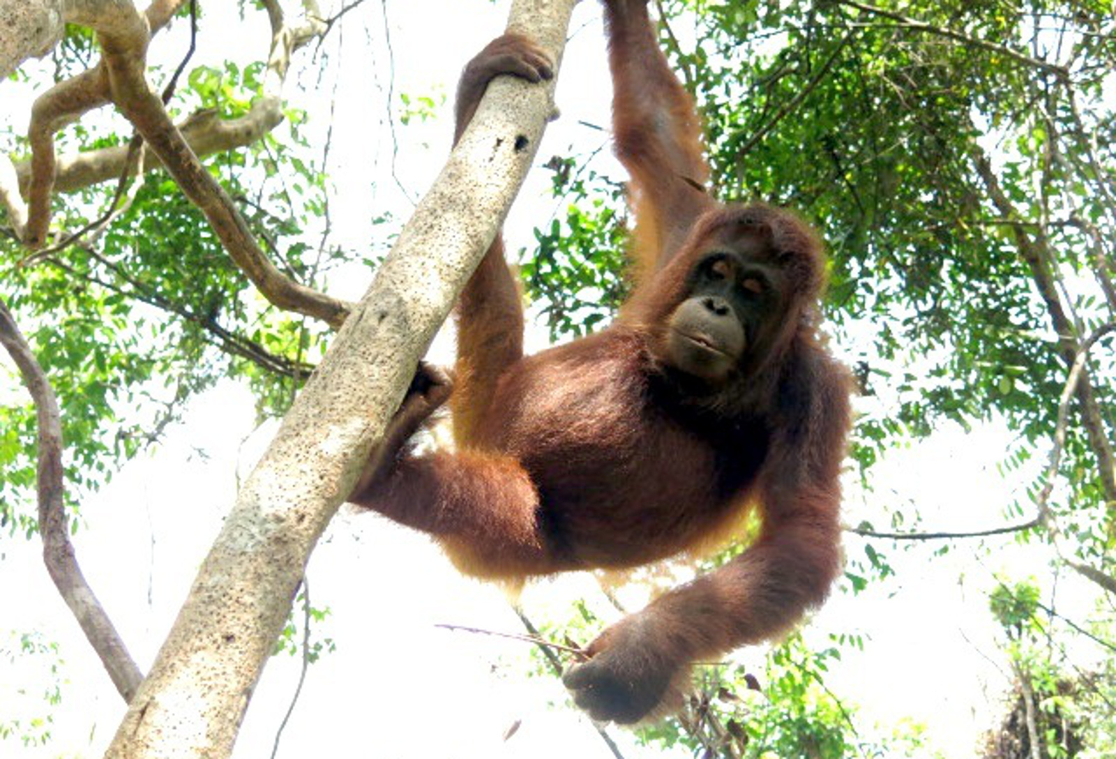 After Being Tortured by Villagers, Rescued Orphaned Orangutan Gets Second Chance at Life in the Wild