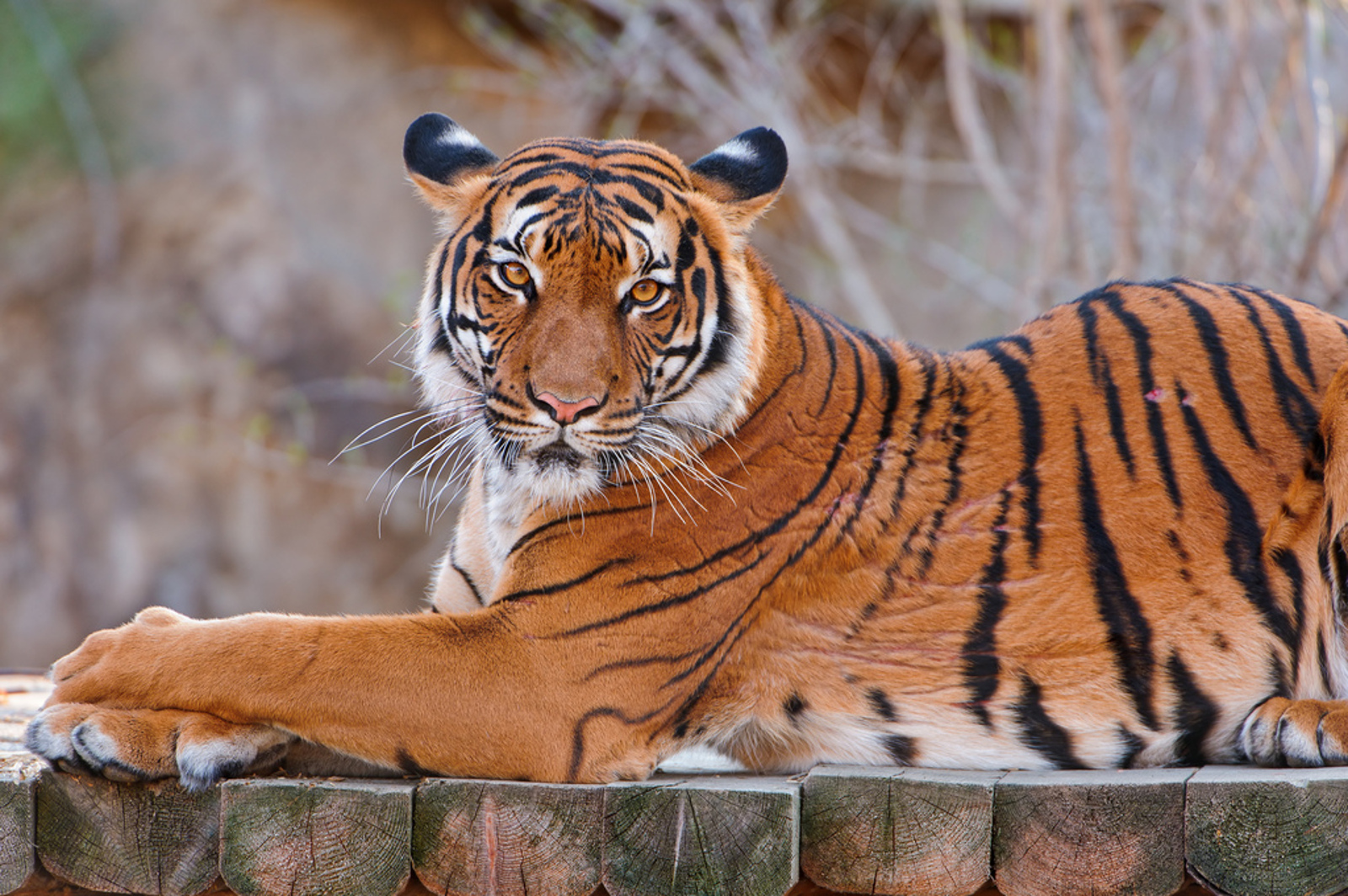 Captive-Bred Animals Are Just Not That Into Their Wild Counterparts: What This Means For Species Resurgence