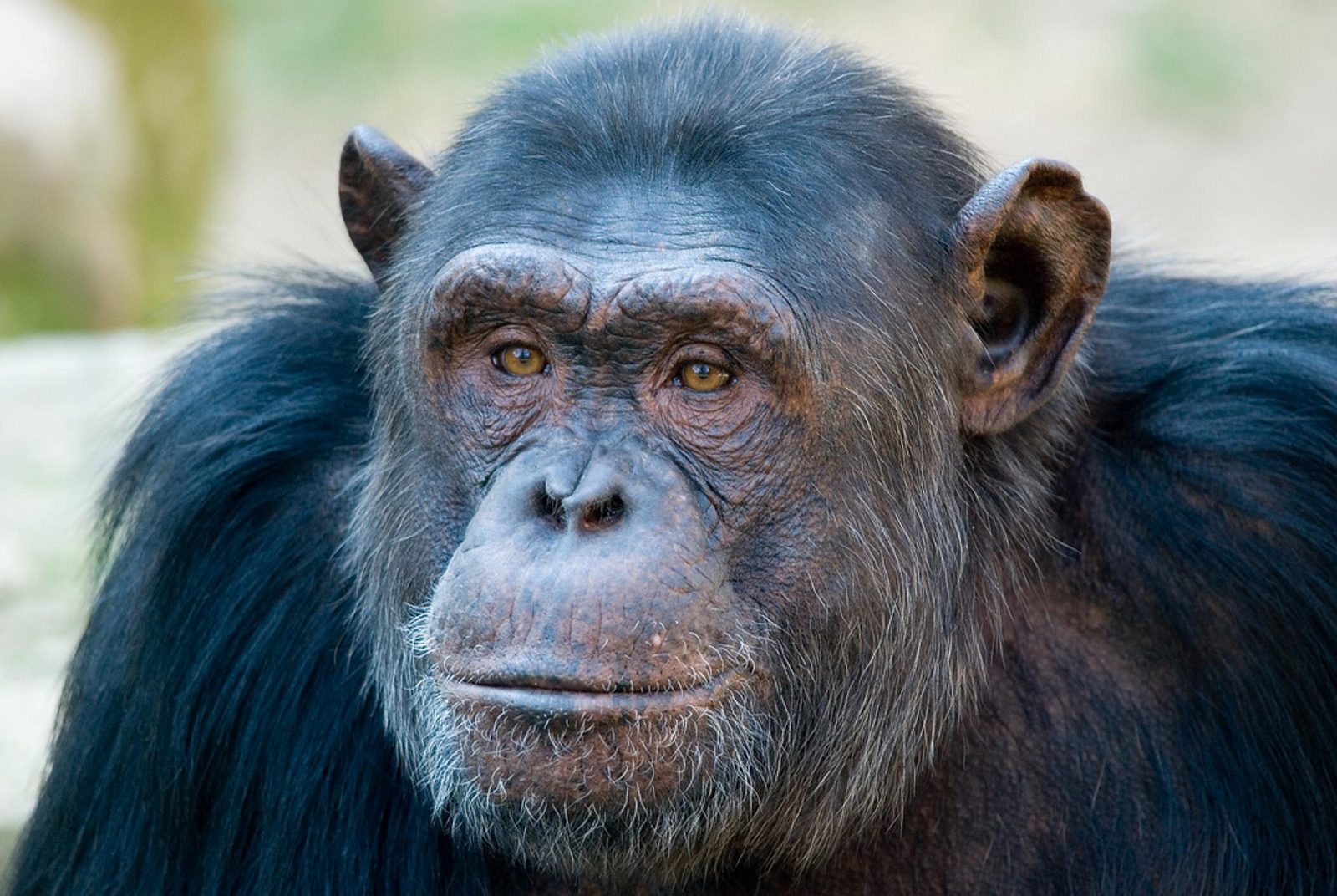 Tommy the Chimpanzee's Fight Towards Personhood Moves to New York's Highest Court