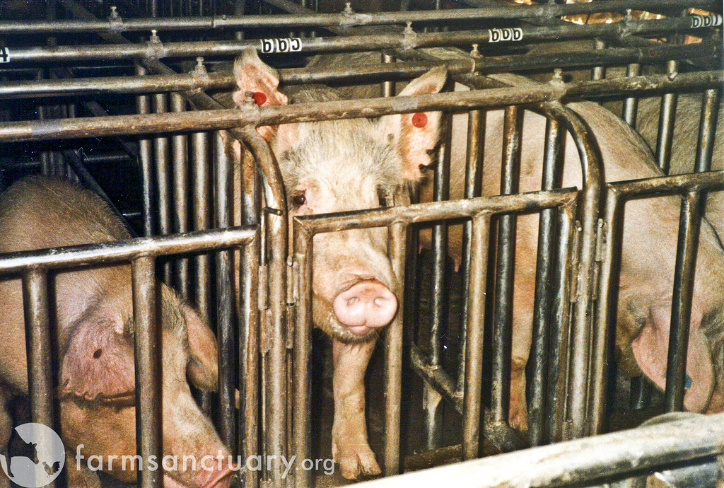 5 Ridiculous Reasons Politicians Give For Not Banning Gestation Crates