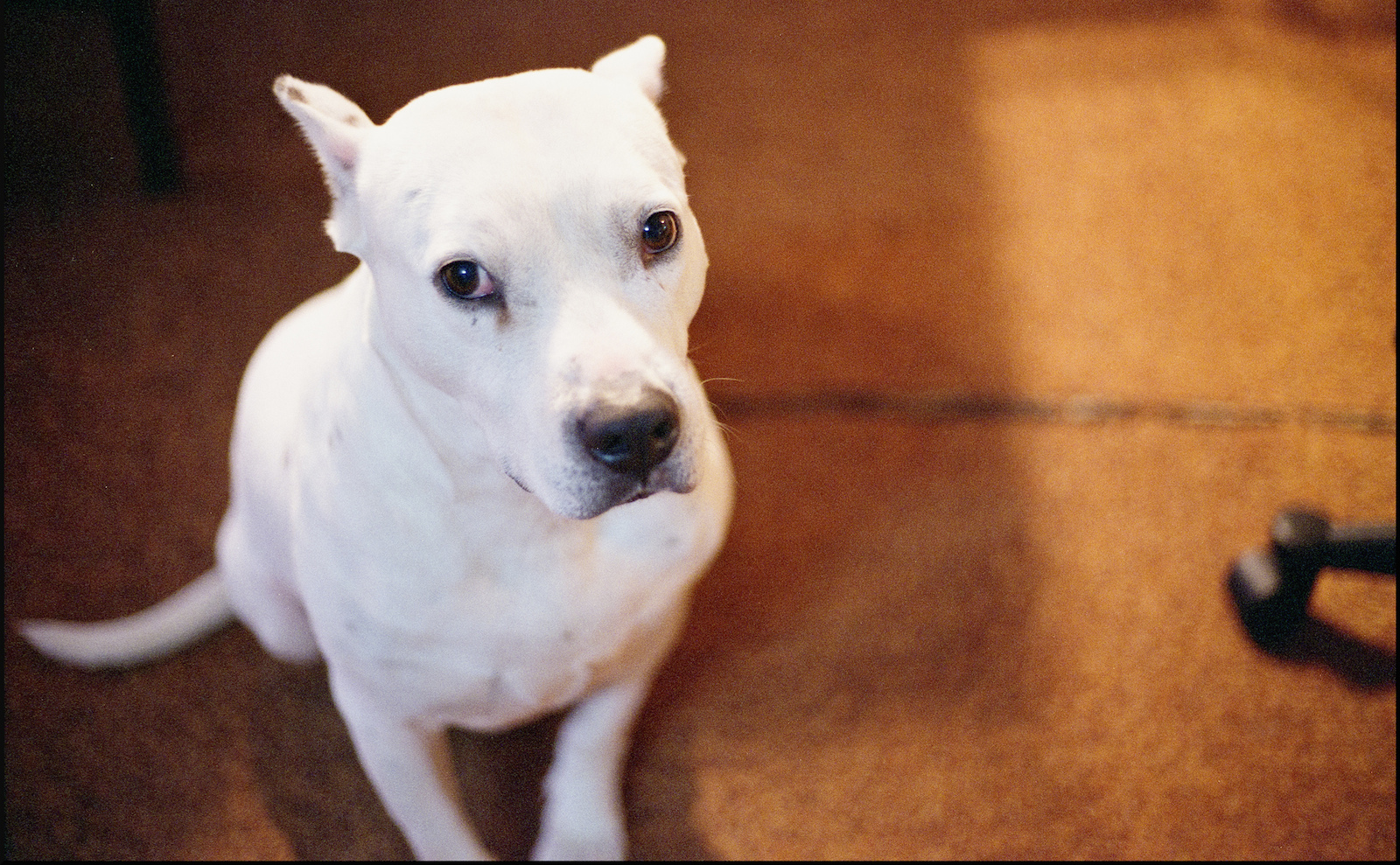 6 Pit bulls who are scared of ordinary things