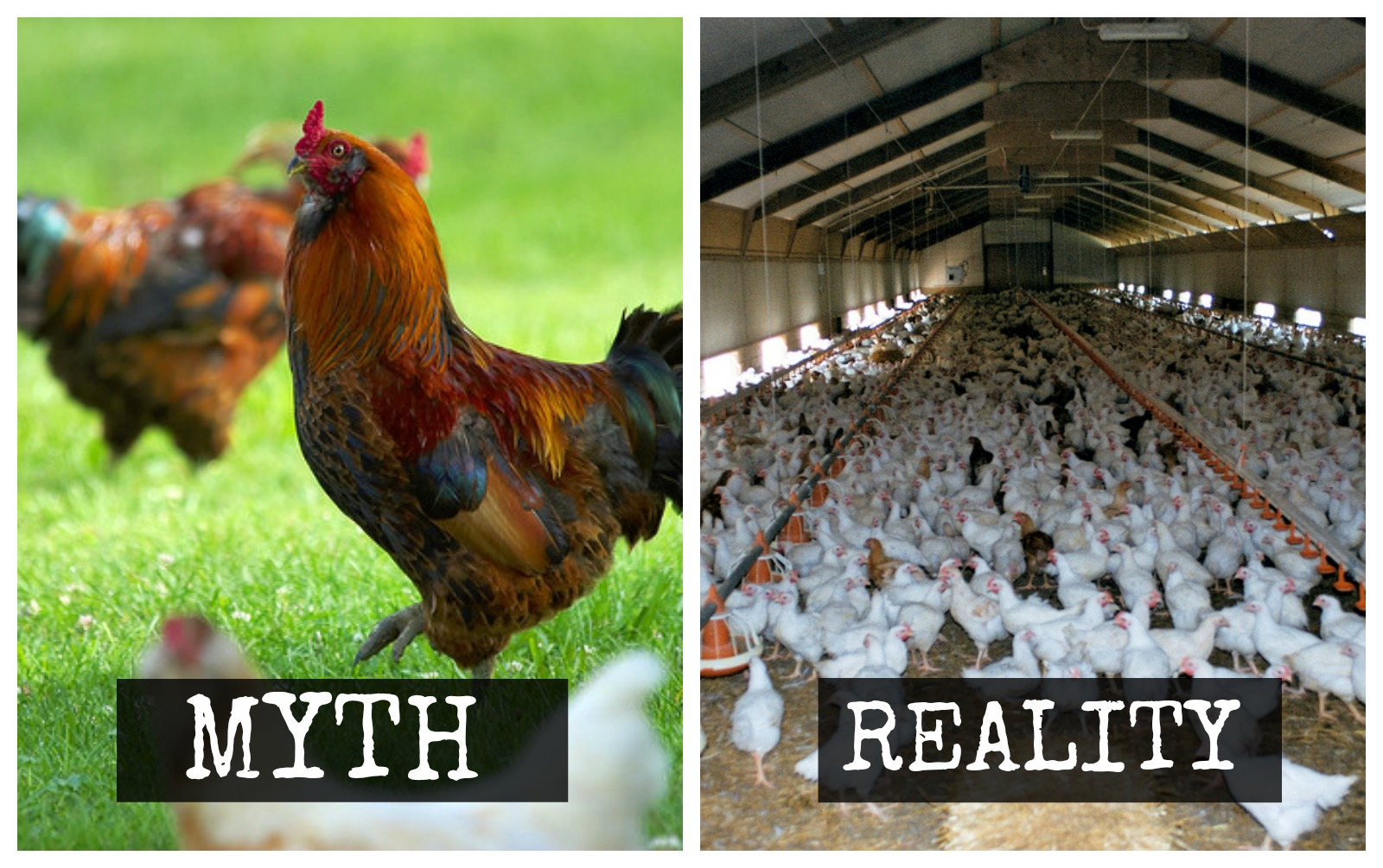 Think You Know 'Free-Range' and 'Cage Free' Chicken? Think Again.