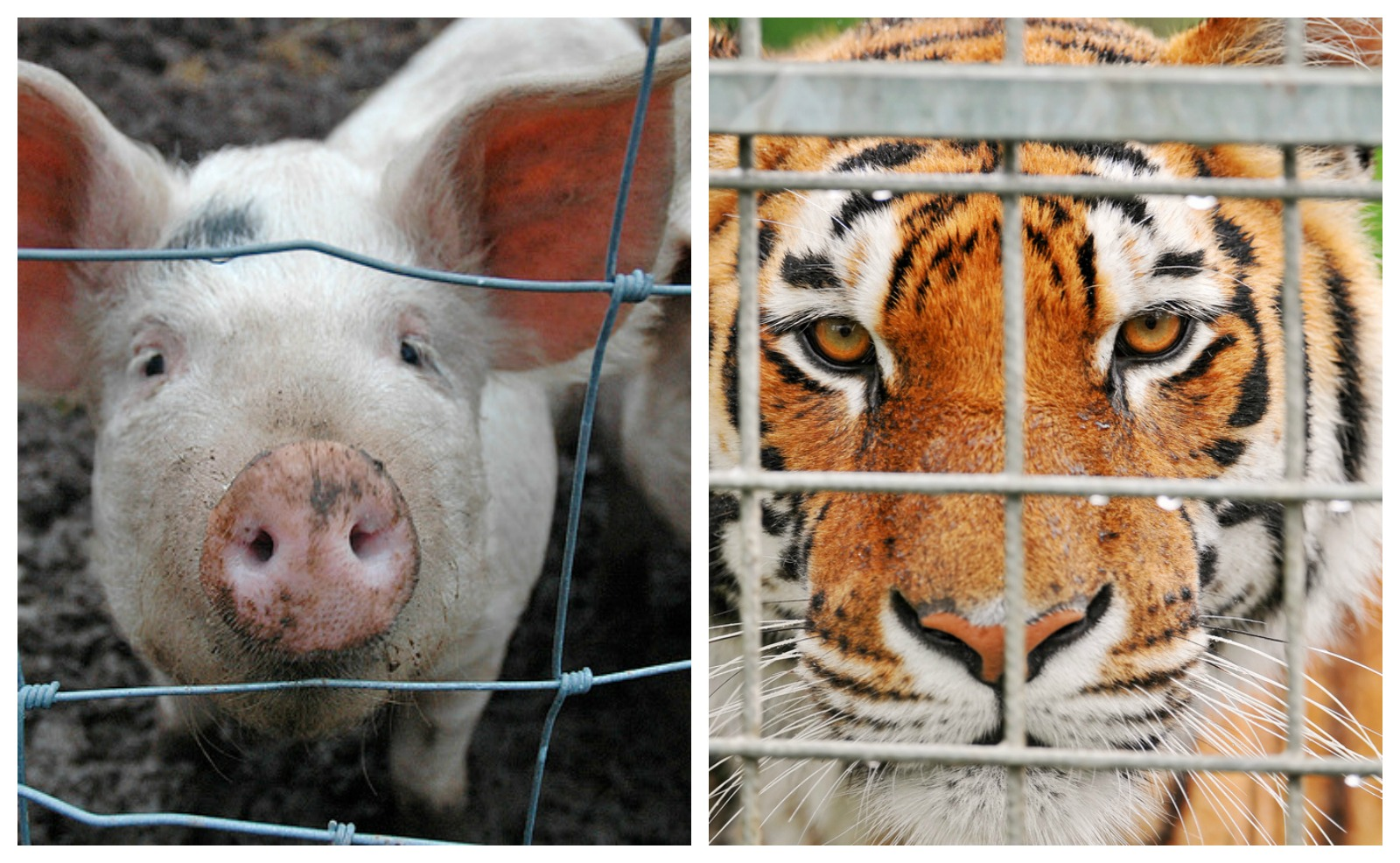 The Cost of Captivity: Similarities in How Farm and Zoo Animals Suffer