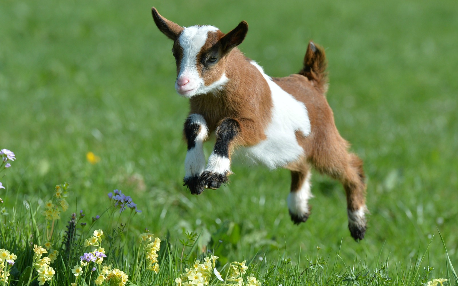 Goat Consumption on The Rise in The United States. Here's What the Goats Have to say About it