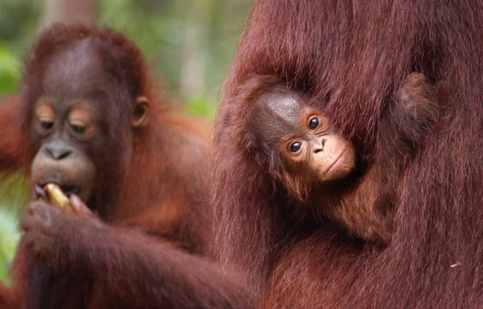 These Orangutans Just Can't Seem to Comprehend Why We Need Palm Oil