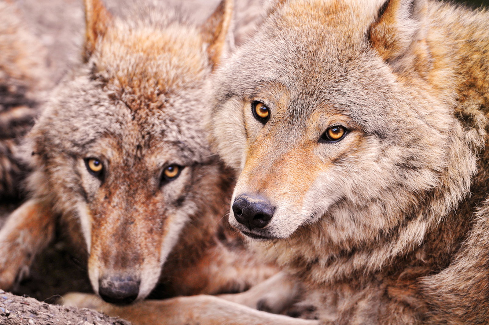 Who's Afraid of the Big Bad Wolf? How Anti-Wolf Propaganda Threatens the Survival of This Species