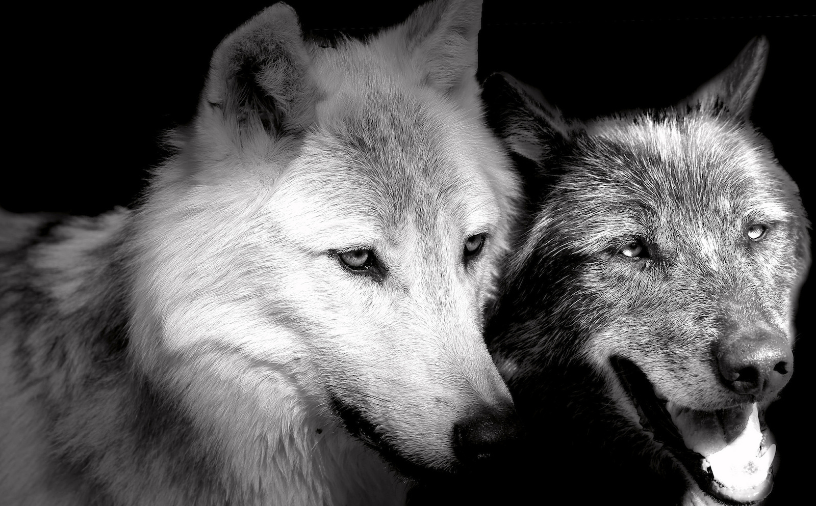 So You Want A Pet Wolf Here S Why You Should Probably Reconsider