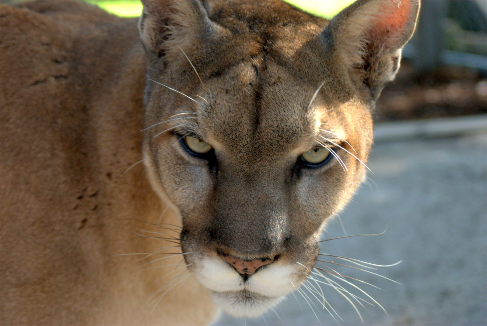 Why the Florida Panther Must Not be Removed from the Endangered List