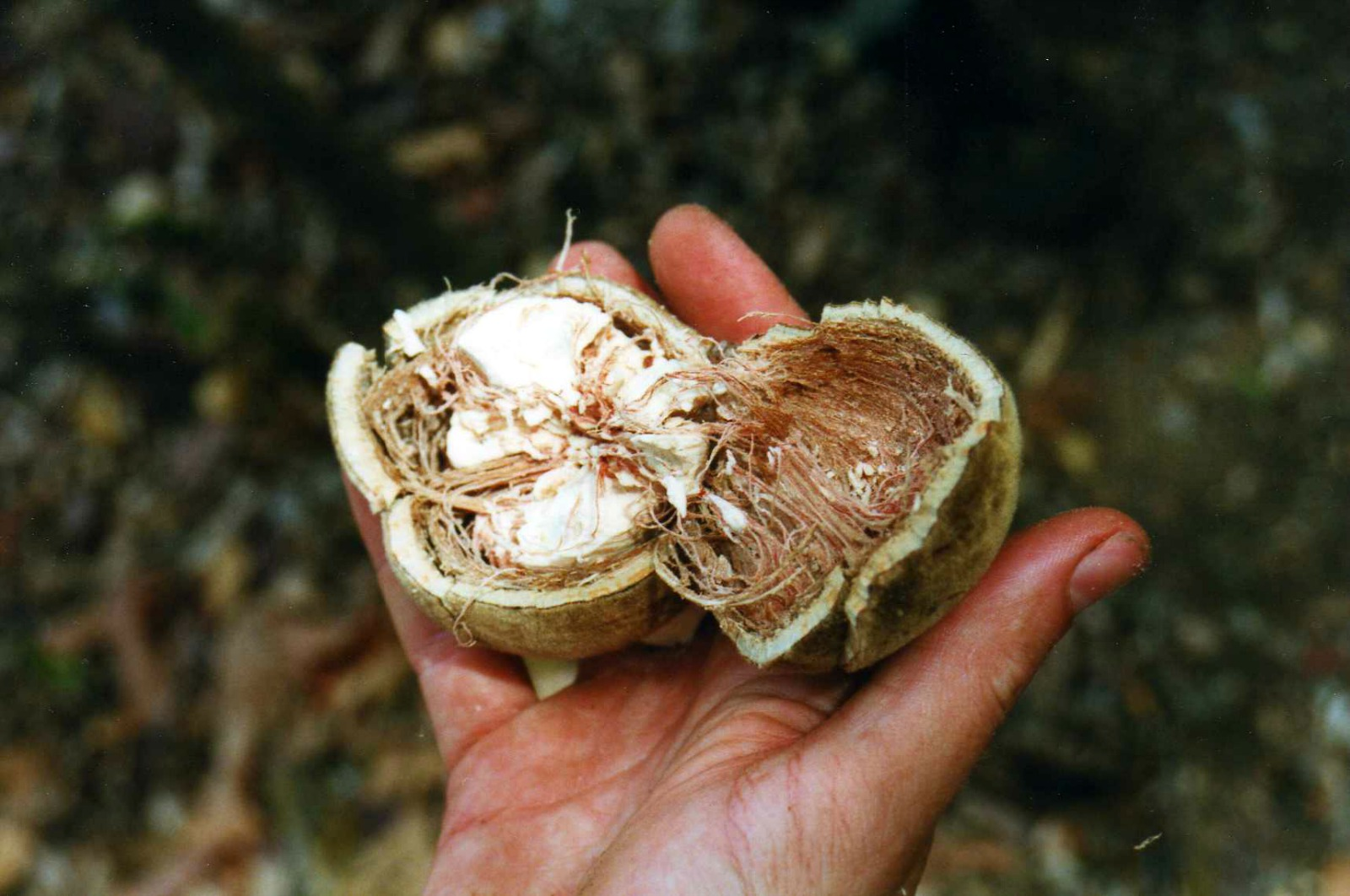 Health Benefits of Baobab Fruit