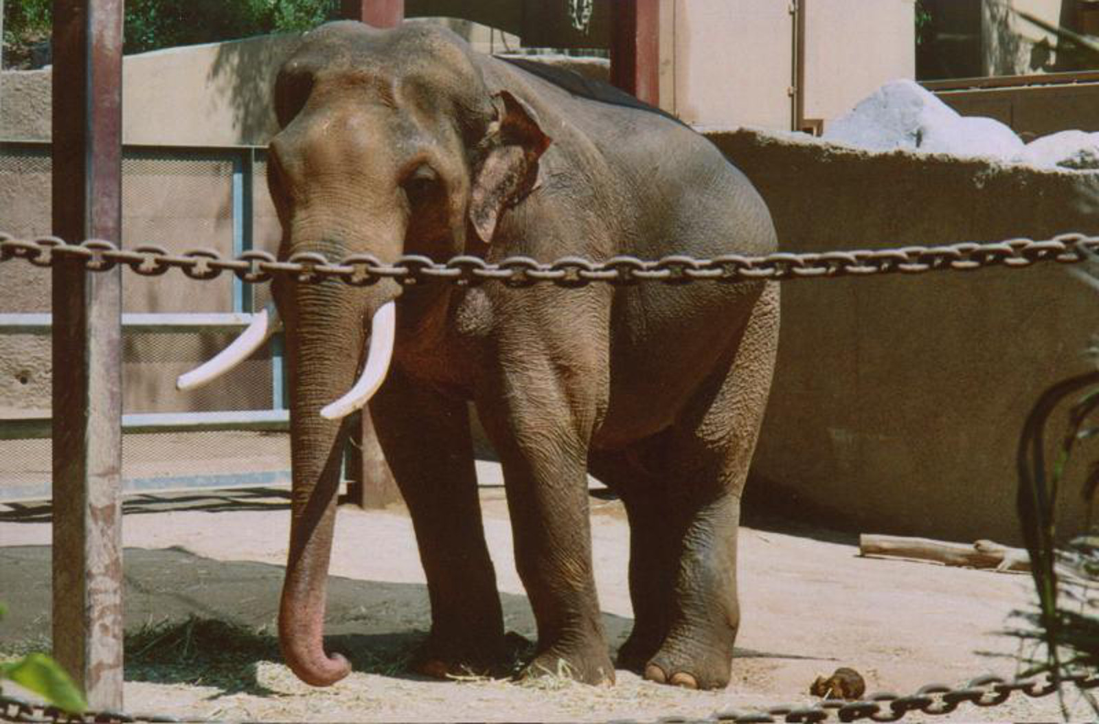 Life in Captivity is No Life at All: A Case for Billy the LA Zoo's Solitary Elephant