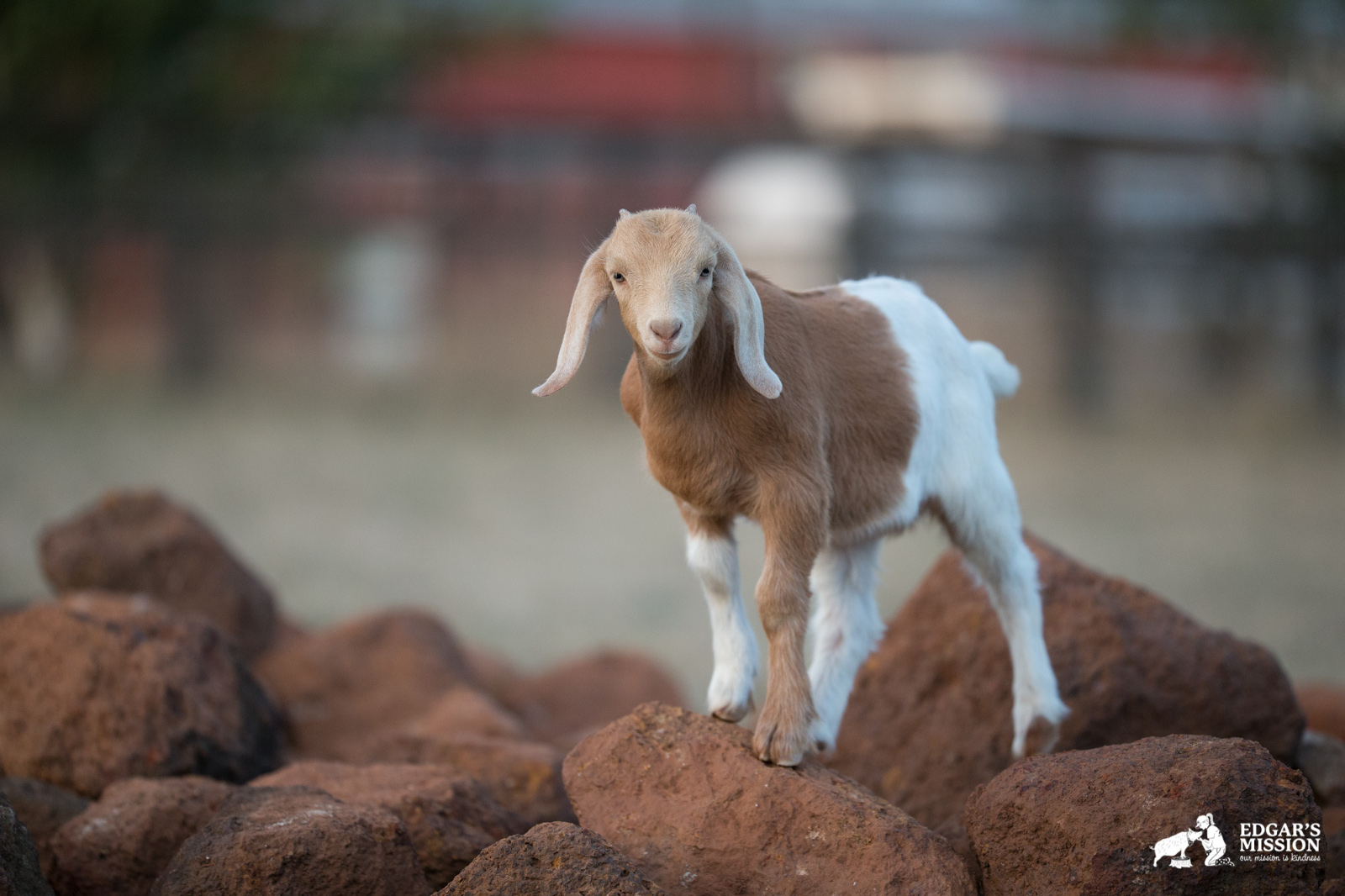 Chrissy the Small Goat on a Mission to Make a Big Impact on the Way We Perceive Farm Animals