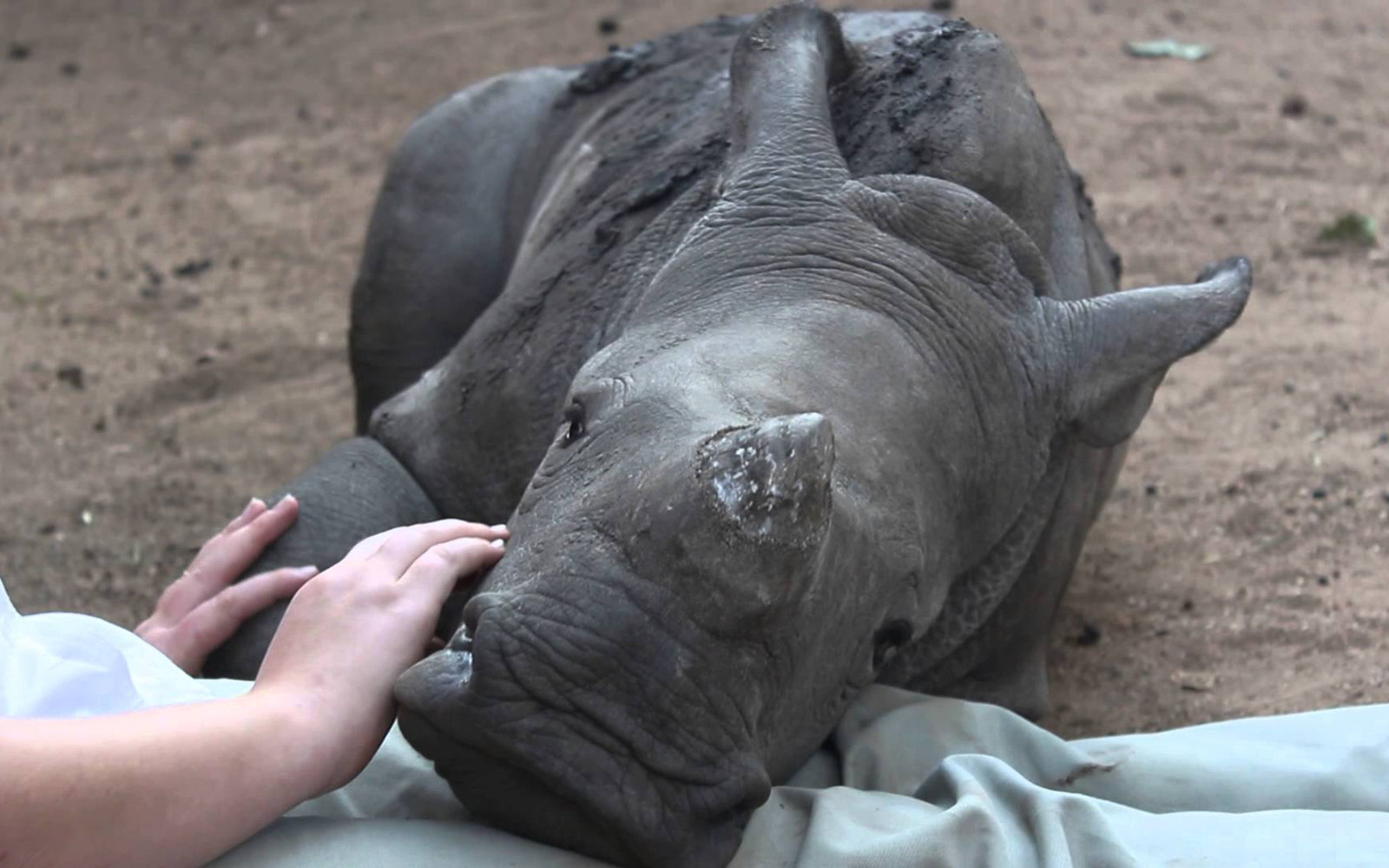 The Important Lesson We Can to Learn From Gertjie the Orphaned Rhino That Will Help Save This Species