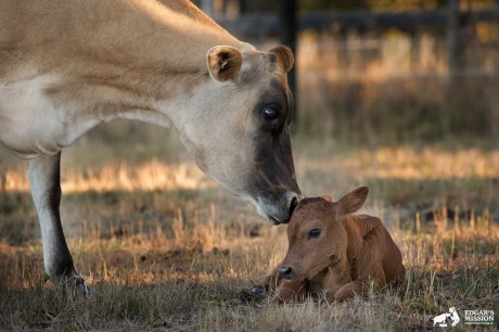 Clarabelle the Former Dairy Calf Finally Gets to Keep One of Her Babies! (PHOTOS)