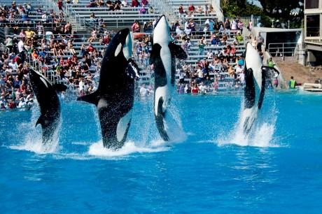 How Captivity Destorys Orcas Natural Life Cycles