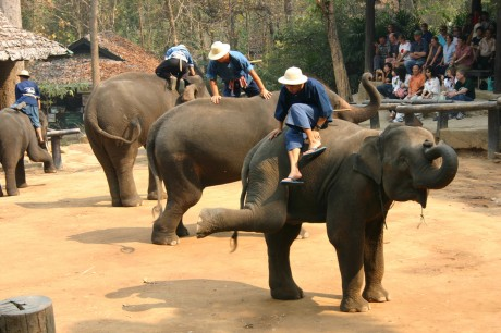 The Barbaric Tradition of 'Breaking the Spirit' of Juvenile Elephants for Their Use in the Tourism Industry