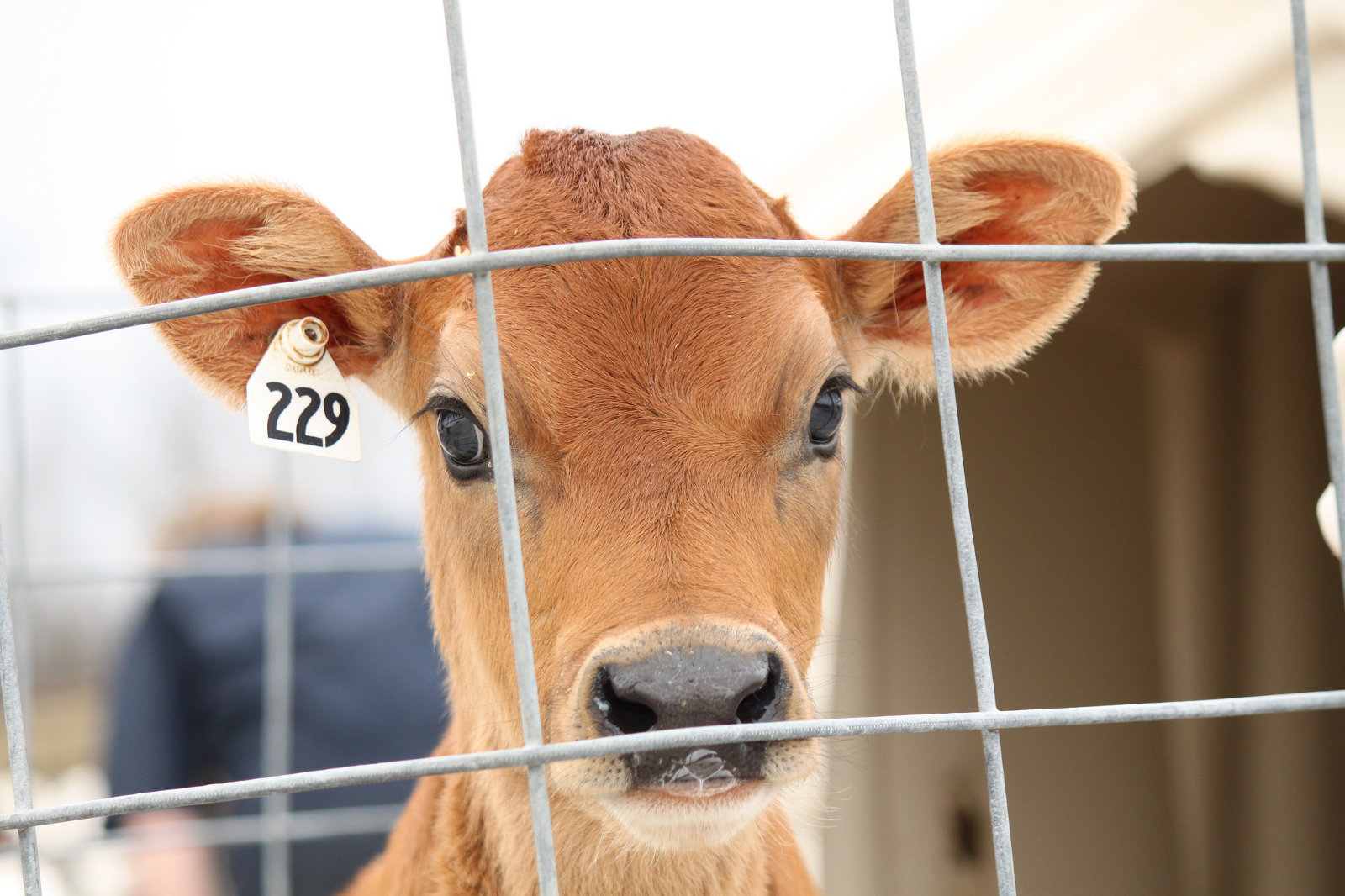 These 5 Stories of Cows Who Survived the Dairy Industry are Sure To Make You Rethink Cheese