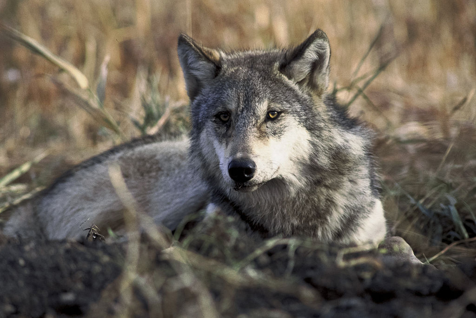 7 Sanctuaries Working to Save Abused and Neglected Wolves and Wolf-Hybrids