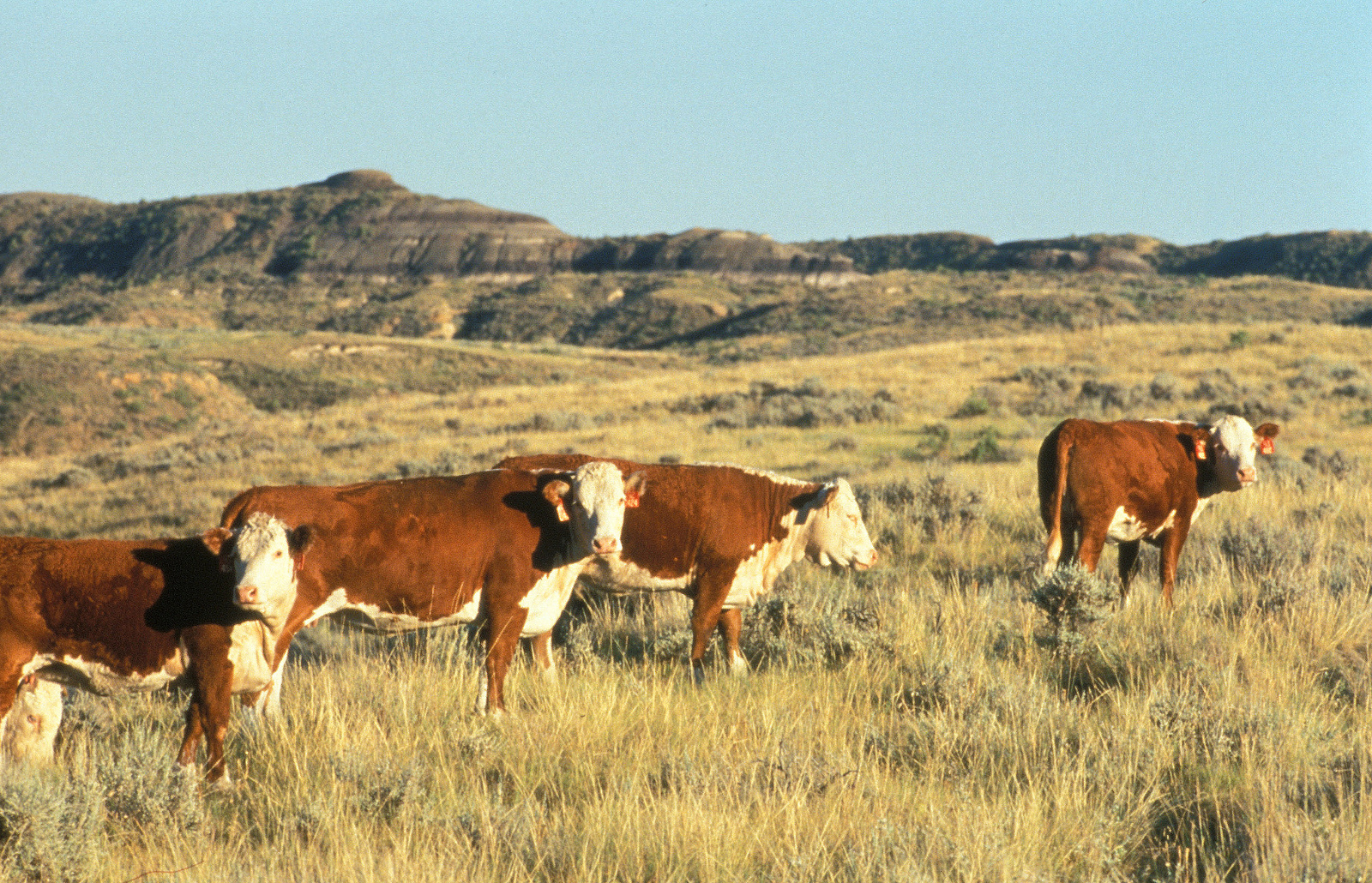 Why are American Public Forests and Parks Being Sold and Destroyed to Produce Meat?