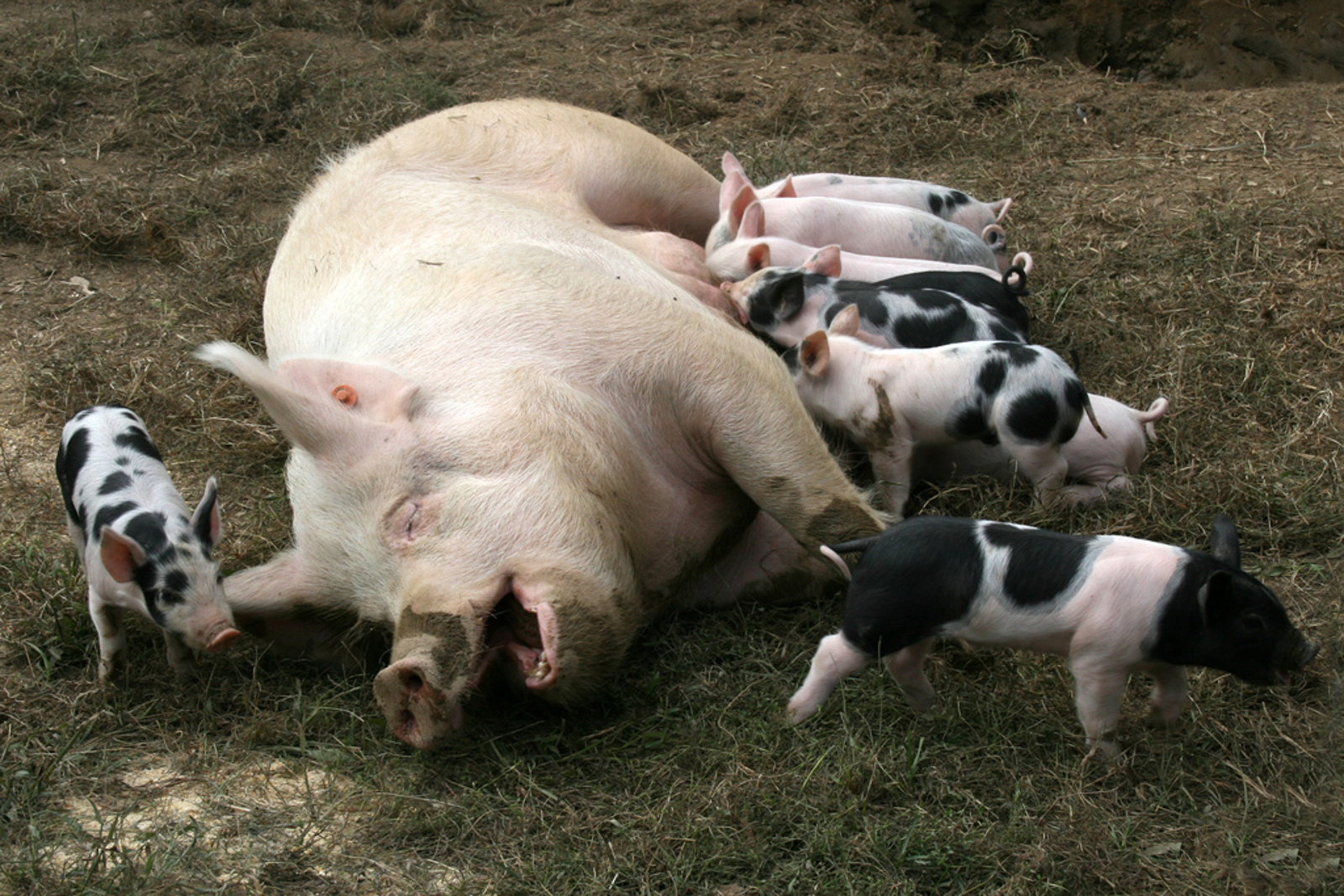 These 3 Stories of Resued Mother Pigs Who Got to Keep Their Piglets Will Warm Your Heart