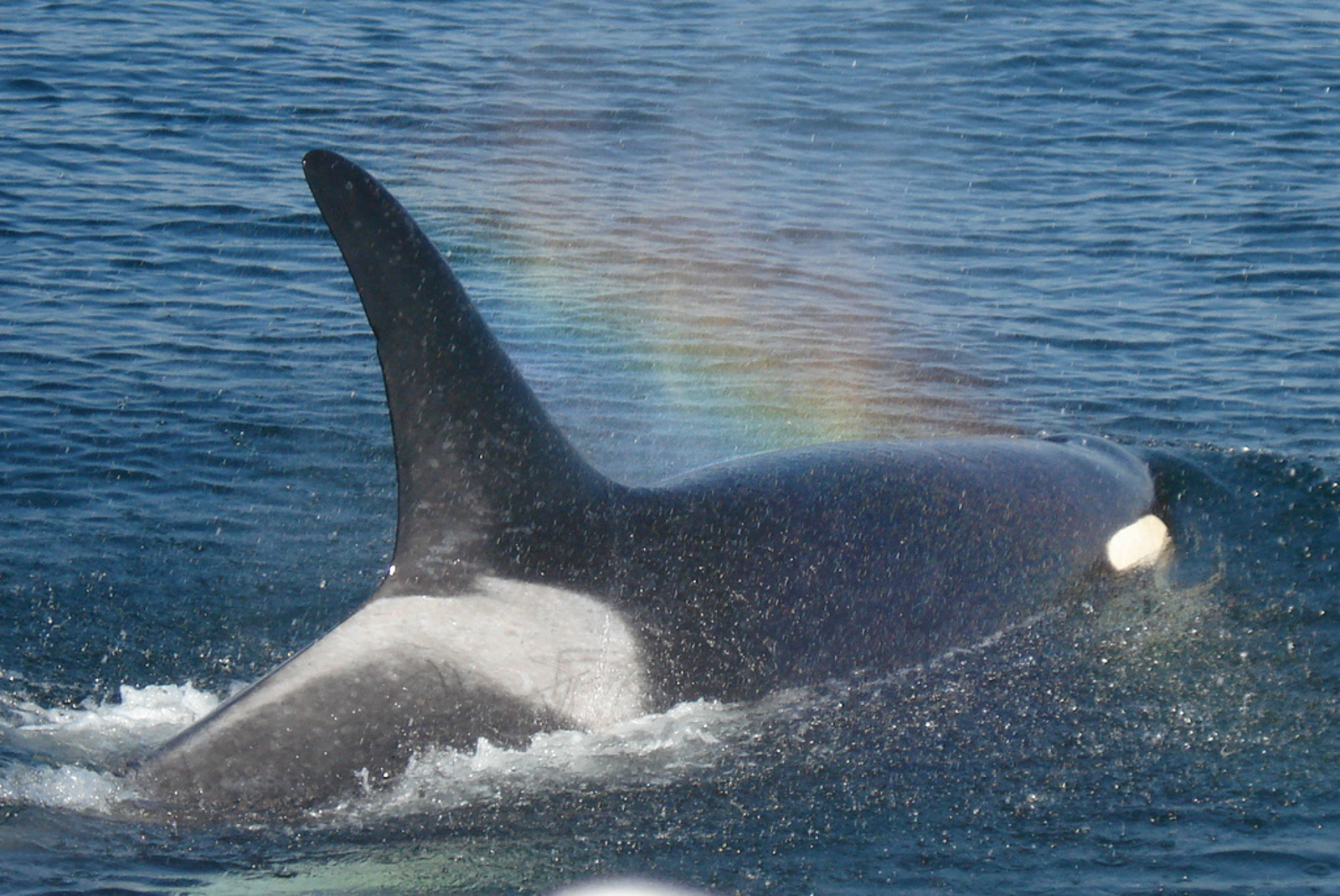 The Pacific Northwest's Wild Orcas are Starving to Extinction. Here's What You Can Do to Help