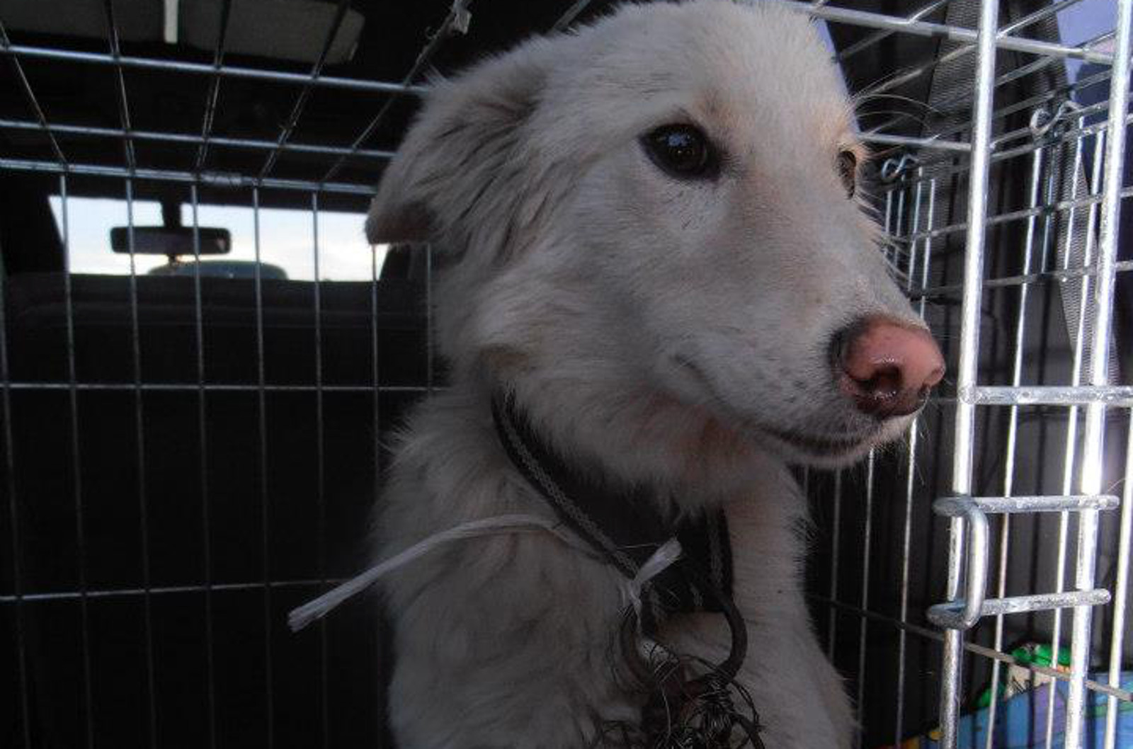 After Surviving Being Poisoned and Abandoned by a Cruel Person, Rango the Dog Finds a Forever Home