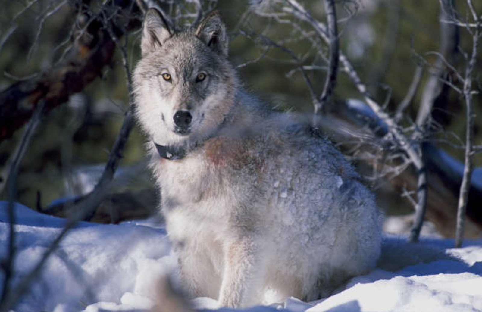 Howling for Echo: 2 Organizations Working to Protect Wolves and Why They Need Your Help Now