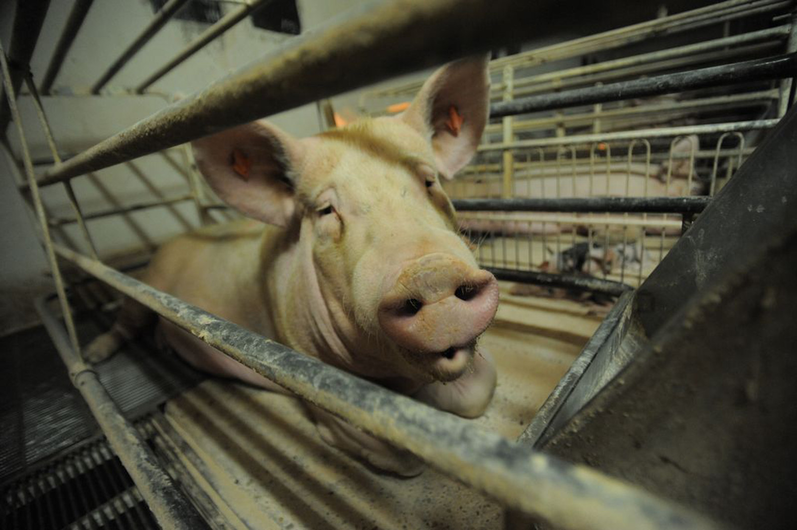 Customary Cruelty in the Farm Industry: When Animal Abuse is Legal