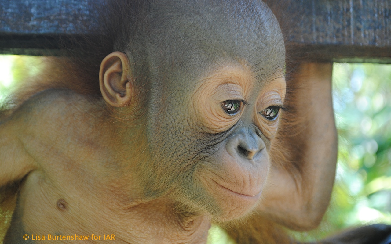 Budi the Rescued Baby Orangutan Starts His First Day of School! (VIDEO)