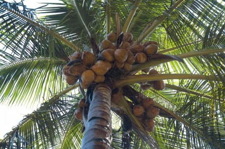 Is Your Obsession With Coconuts Harming the Environment?