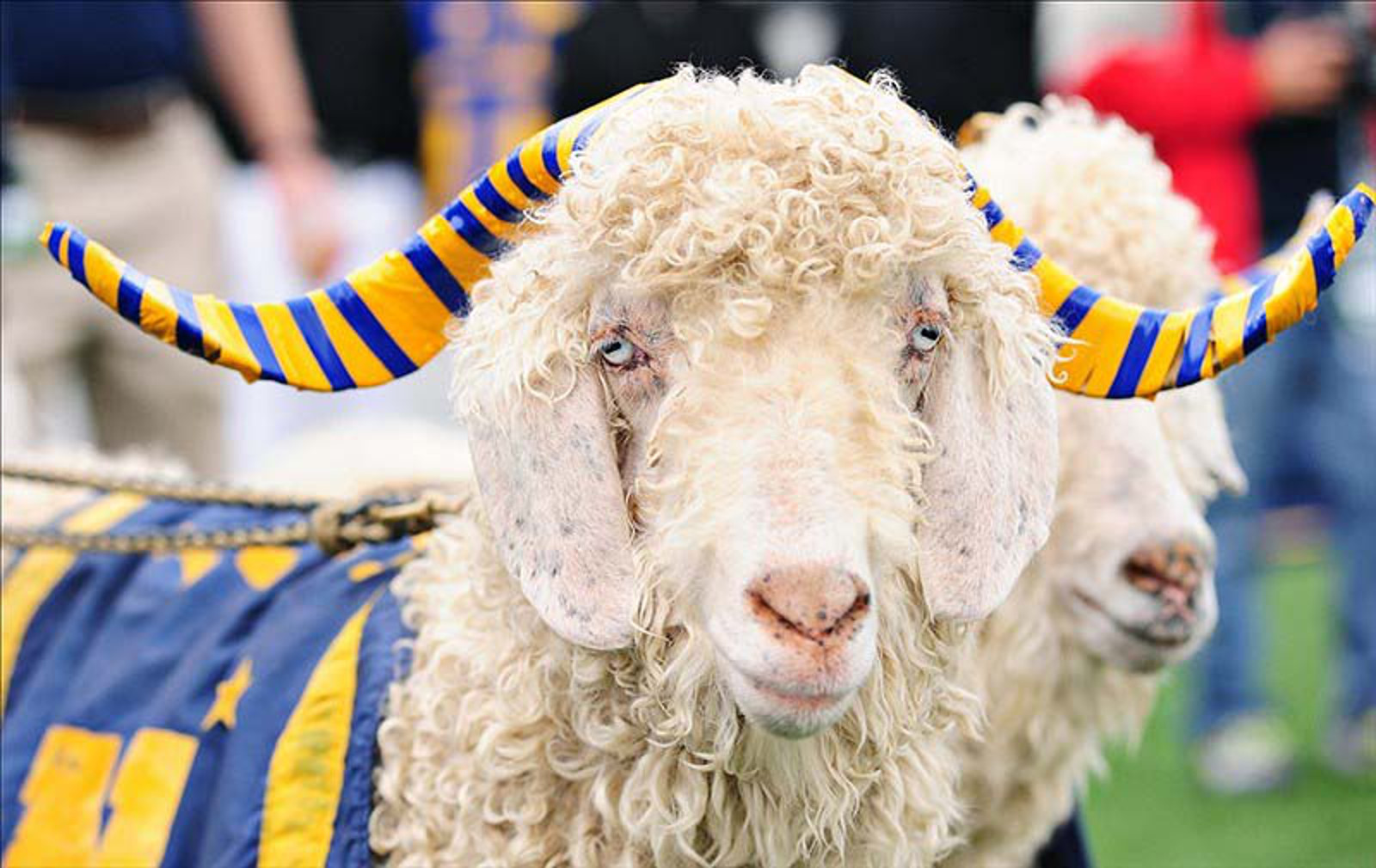 Team Spirit or Animal Abuse? The Tradition of Keeping Live Animal Mascots