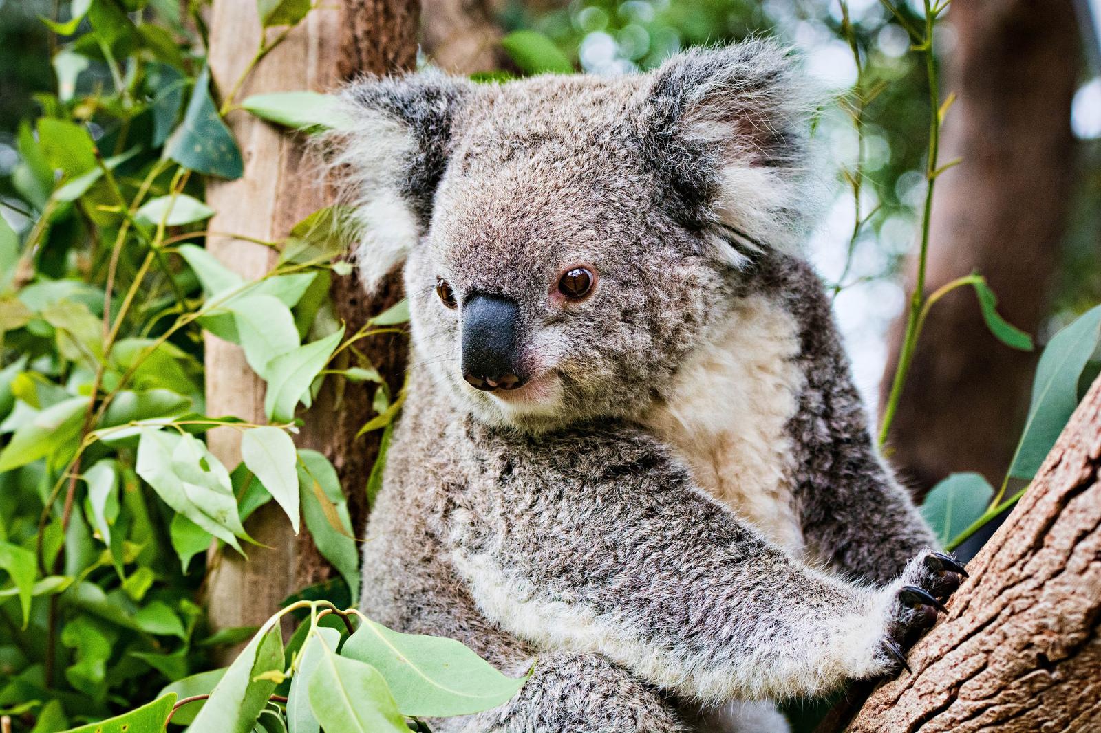 Why Are Koalas in Australia Starving?