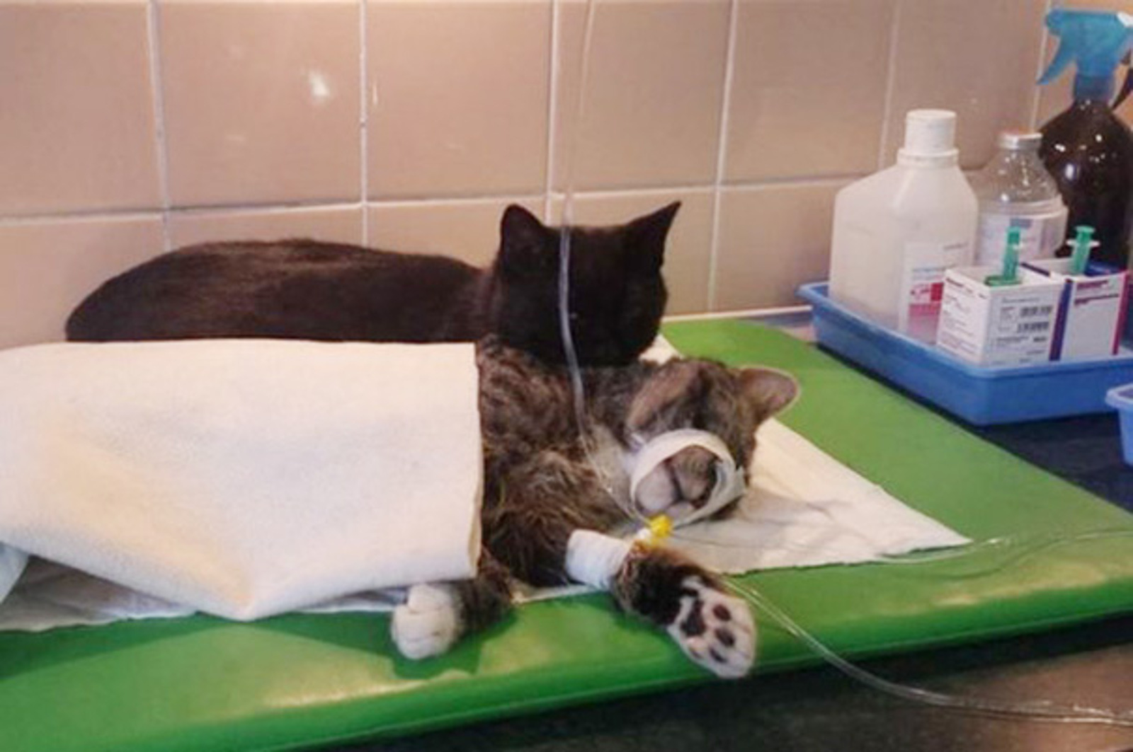 Amazing Nurse Cat Comforts Other Sick Animals in Polish Animal Shelter (PHOTOS)