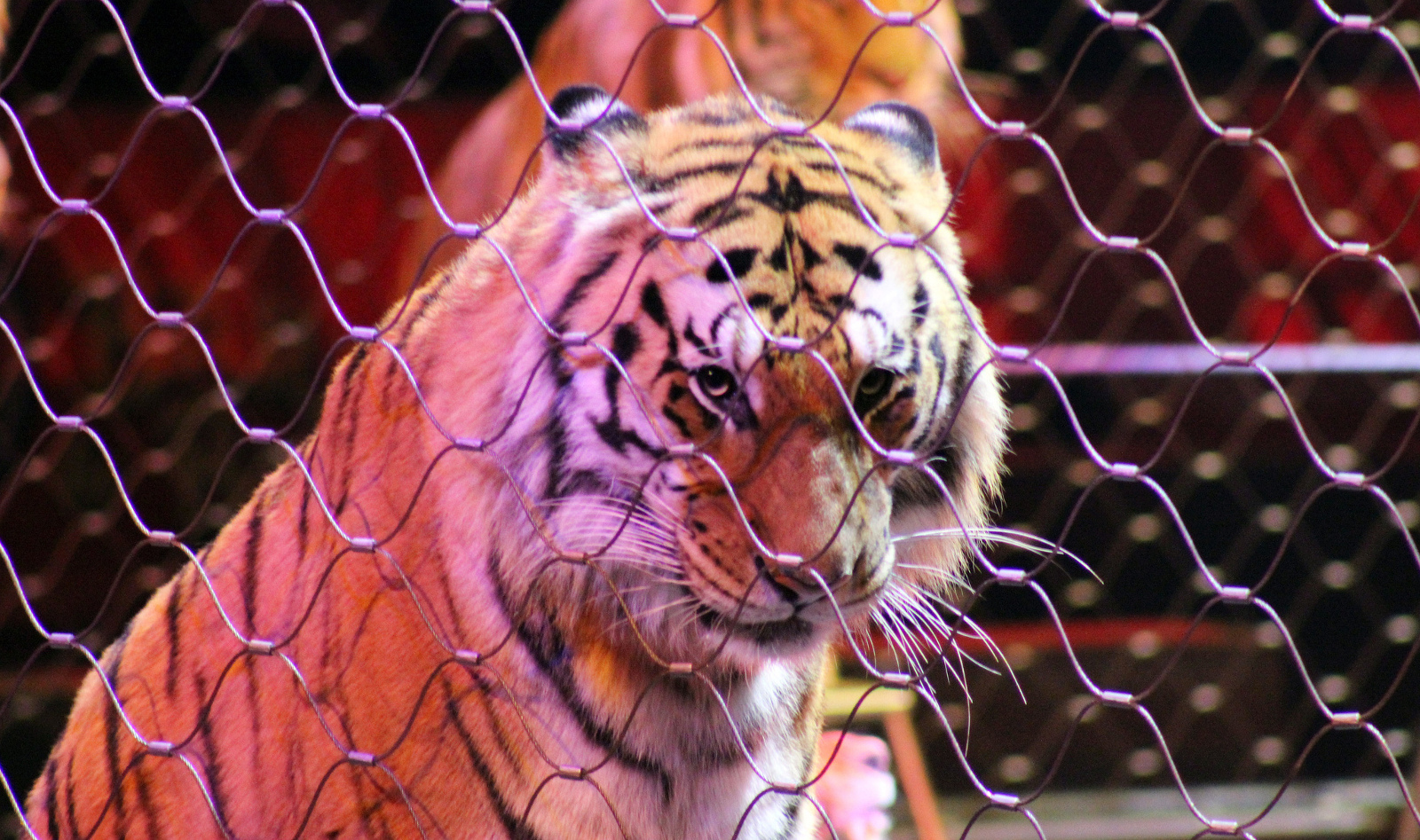 Mexico's Circus Animals Are Set to Retire in 2015, But Who Will Care For These Displaced Animals?