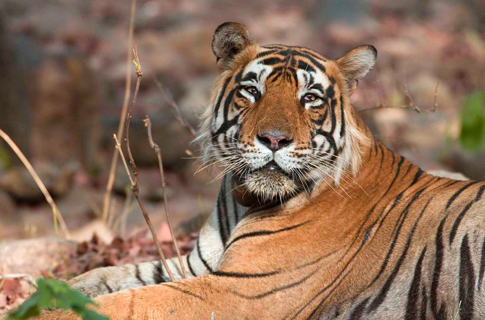 Tigers Set to Remain at Tiger Temple. Here's Why the Fight for Their Freedom is Not Over
