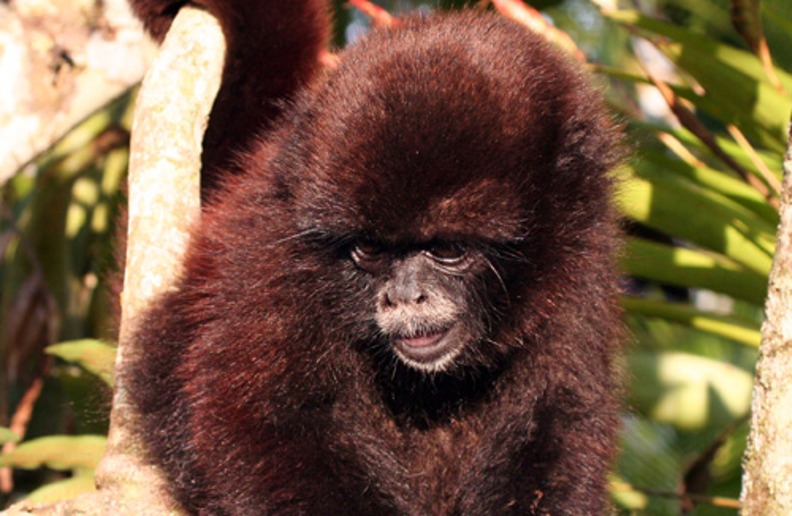 Success! Community Conservation Brings Critically Endangered Monkey Back From the Brink