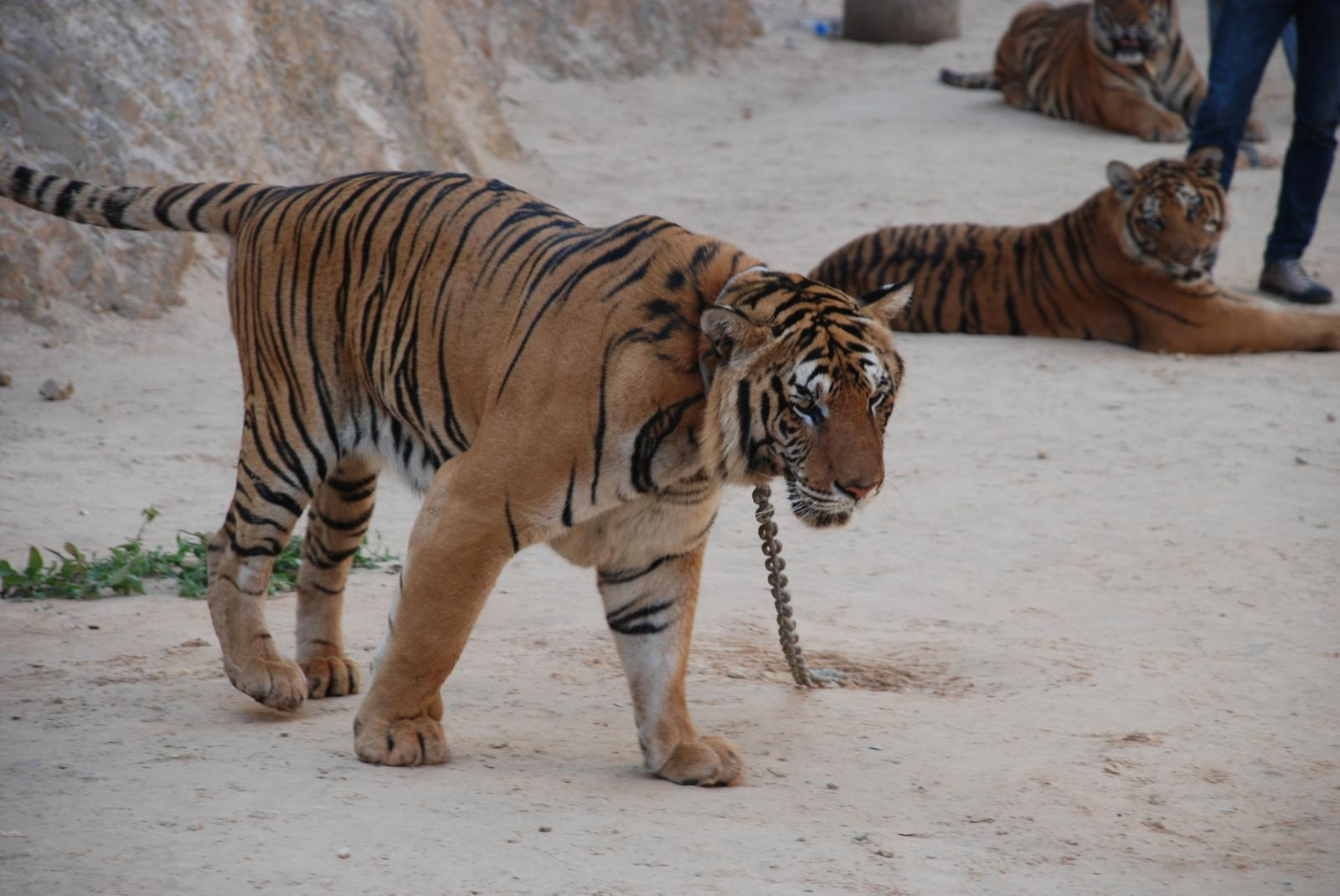 Karma or Common Sense: What Can We Learn From the Abbot's Mauling at Tiger Temple
