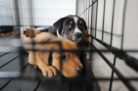why breeding dogs is bad, even if it's a reputable breeder