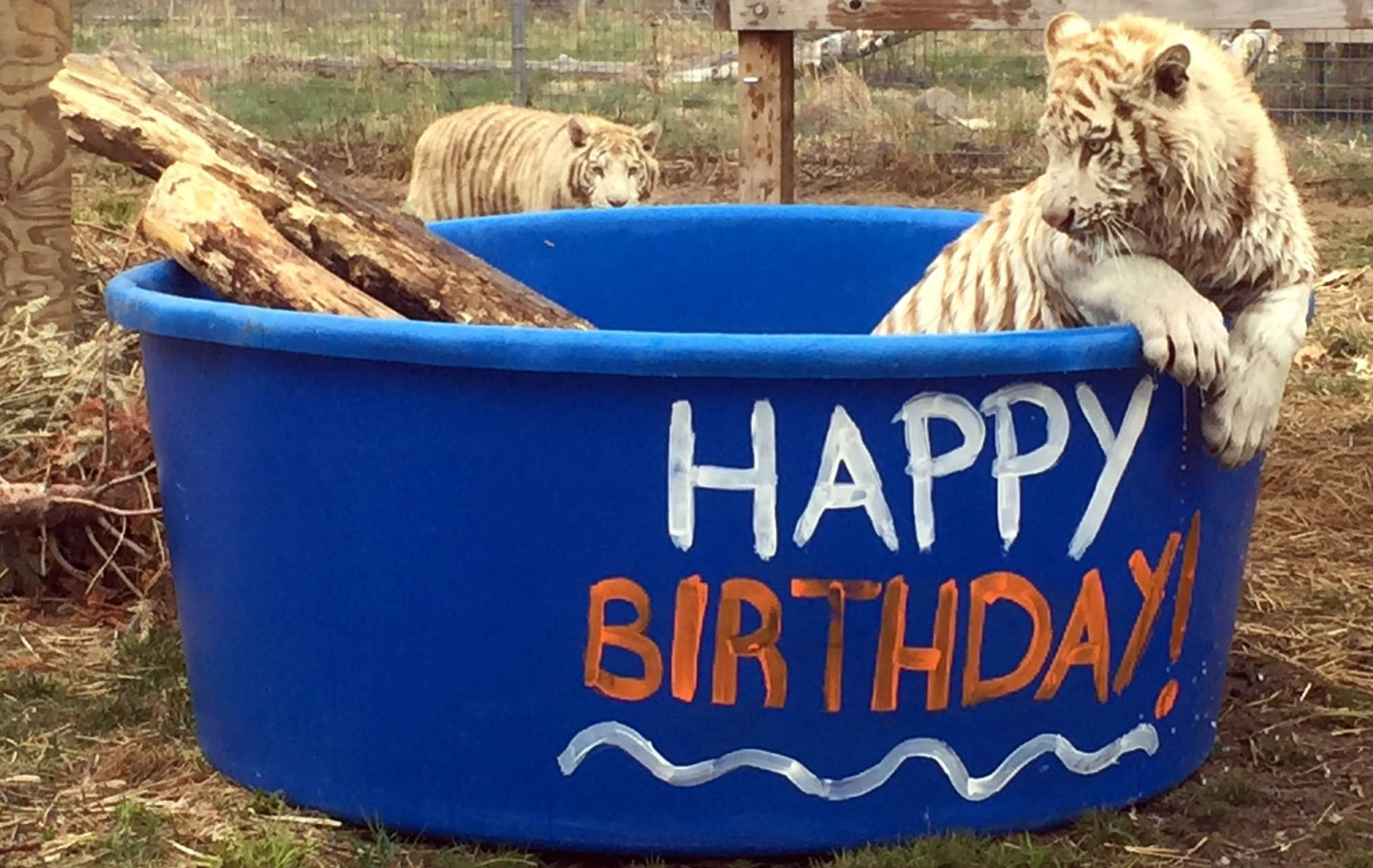 Happy First Birthday! White Tiger Brothers Turn One as Rescuers Share Important Welfare Message